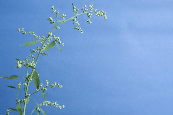 Лебеда и марь образуют огромное количество семян