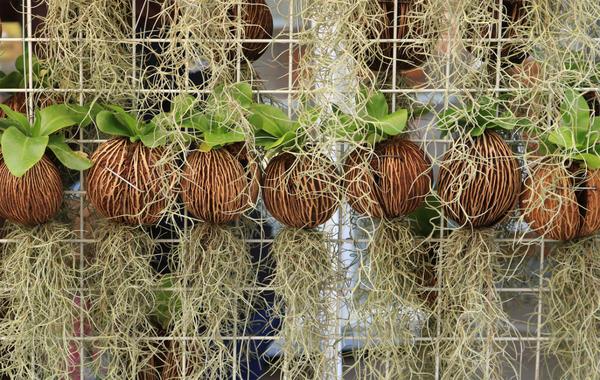 Тилландсия уснеевидная на донышке горшка с другим растением