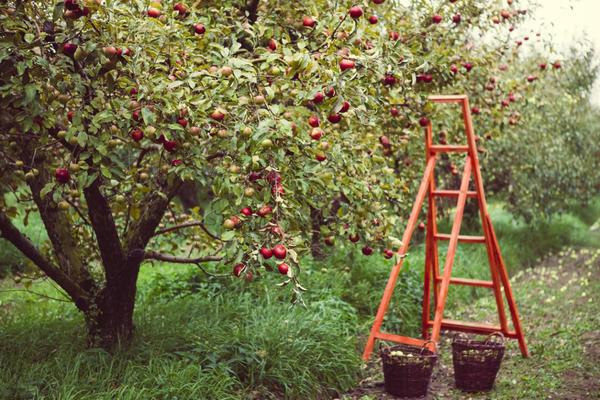 Урожай в яблоневом саду