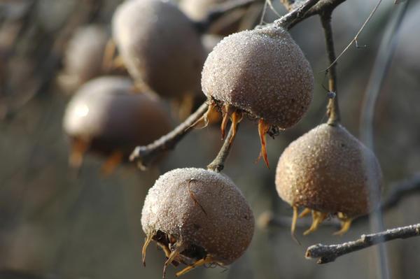 Мушмула становится сладкой только после заморозки-разморозки