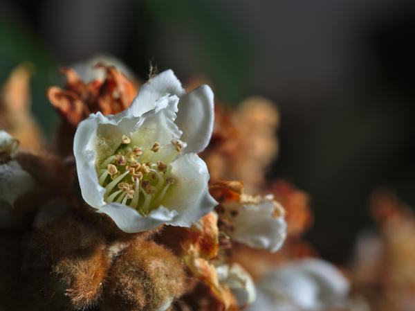 Цветок мушмулы