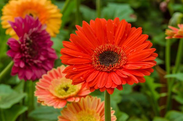 Выращивание садовых гербер. Популярные сорта герберы и уход за ними