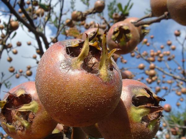 Плоды у мушмулы довольно крупные