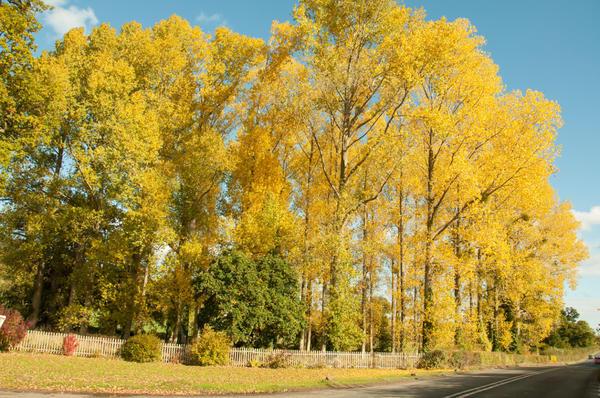 Тополя осенью