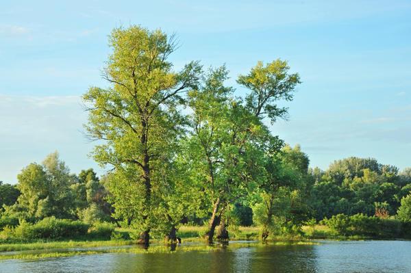 Группа тополей у реки