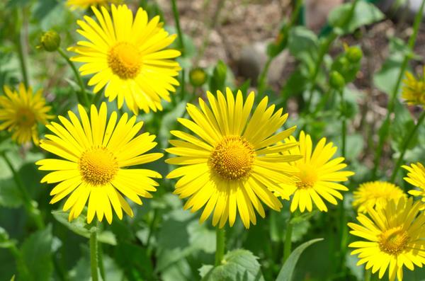 Солнце на клумбе — цветет дороникум