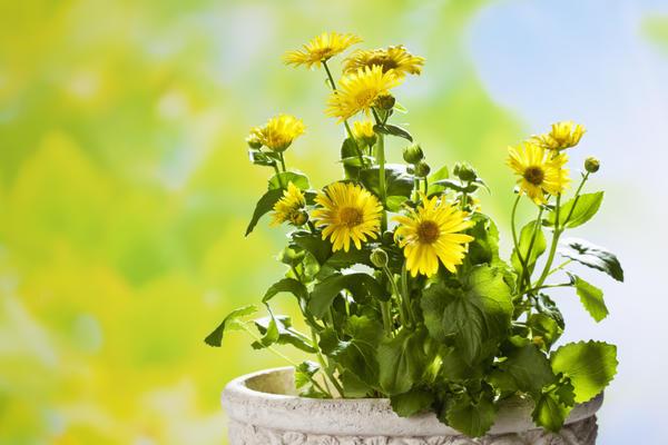 Карликовые сорта дороникума можно выращивать в контейнерах