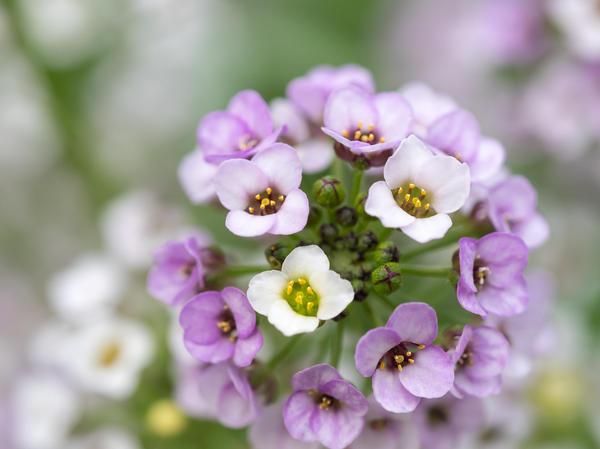 Нежные цветочки лобулярии