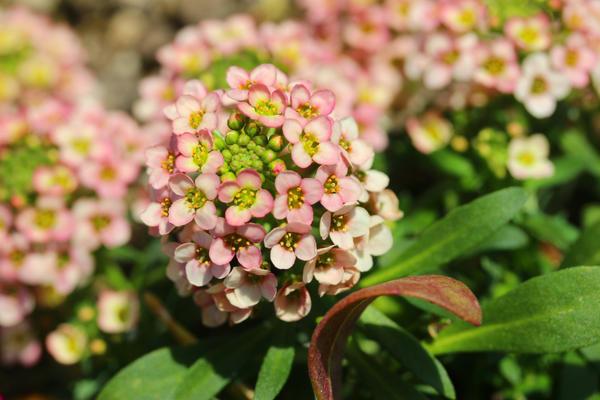 Абрикосовые цветы лобулярии