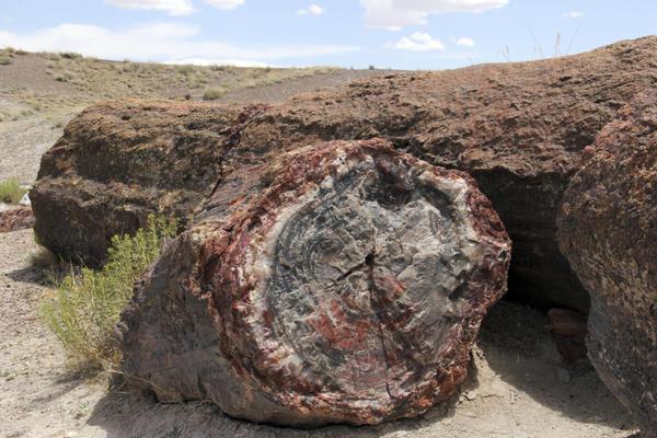 Палеонтологическая окаменевшая древесина: структуру дерева заменил аморфный кремнезём — опал