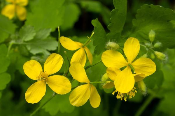 Чистотел — и сорняк, и полезное растение