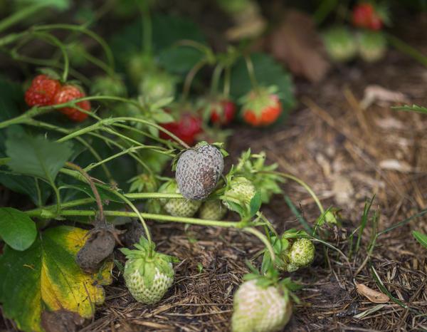 Поврежденные серой гнилью ягоды земляники садовой