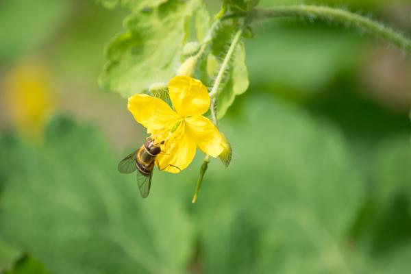 Чистотел поможет защитить огород от вредителей