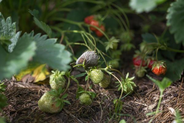 Земляника садовая, пораженная серой гнилью