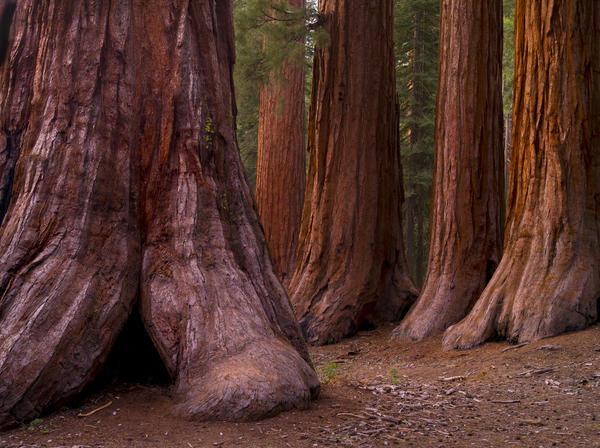 Секвойядендроны — мамонтовы деревья