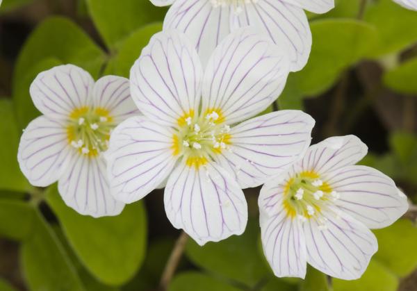 Цветы кислицы вблизи