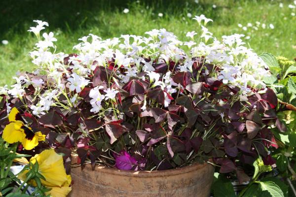 Мотыльковая кислица в вазоне в саду