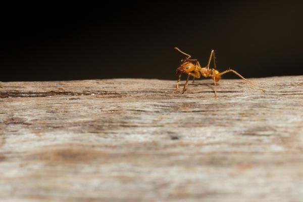 Что делать, если муравьи с участка стали проникать в дом?
