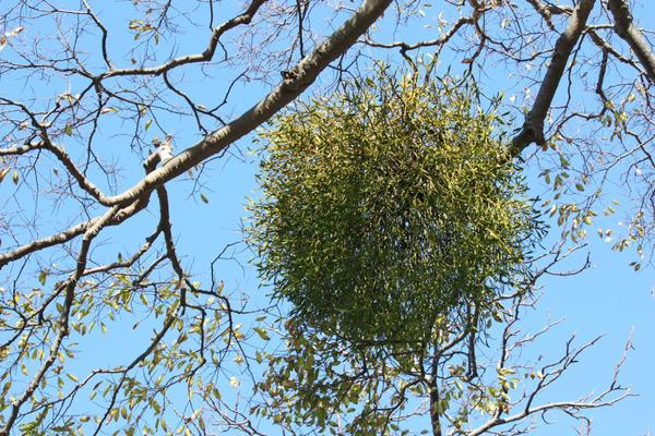Омела - растение-паразит