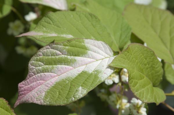 Листья актинидии меняют окраску