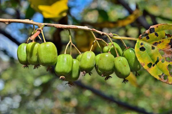 Побег актинидии с плодами