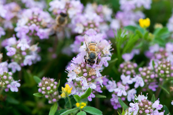 Чабрец любят пчелы