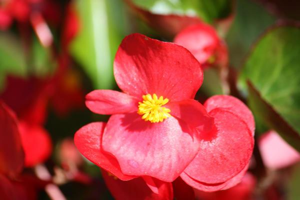 Цветок бегонии вечноцветущей