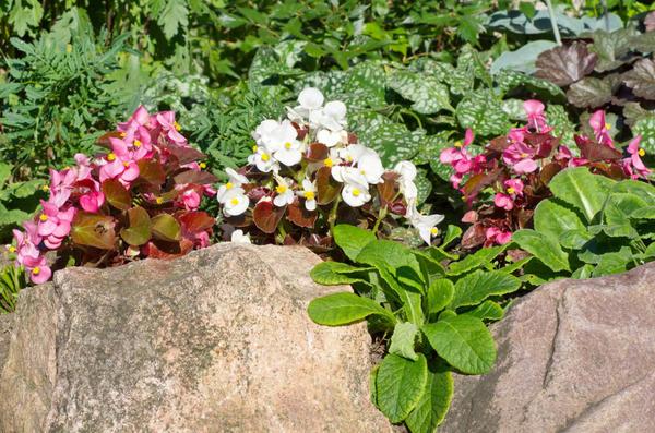 Бегонии в компании других декоративных растений