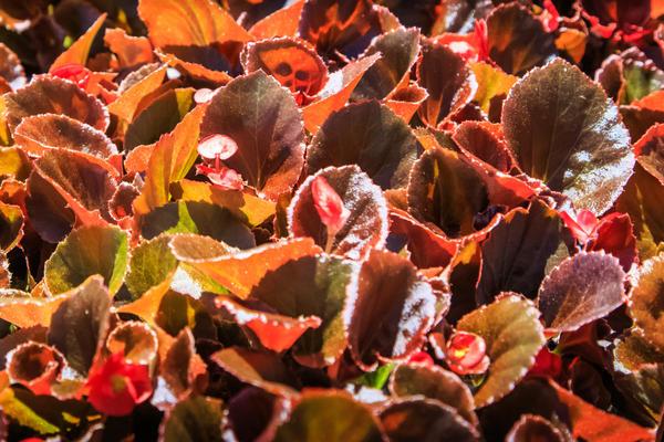 Бегонии с бронзовыми листьями