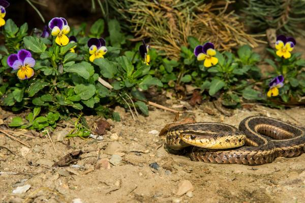 Одна из опасностей, которые подстерегают дачников на участке, - это змеи