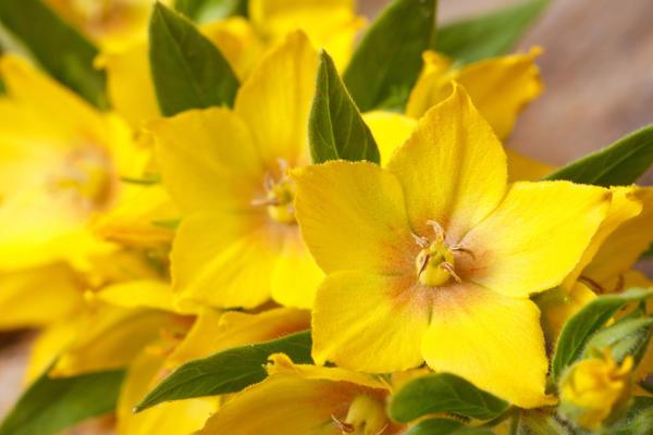 Цветок вербейника