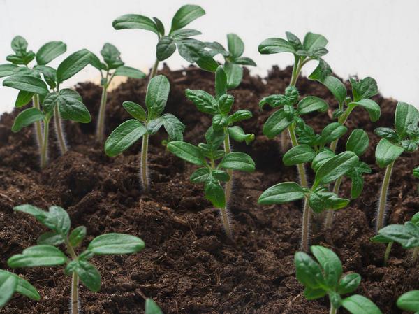 Всхожесть семян томатов сохраняется 5-6 лет