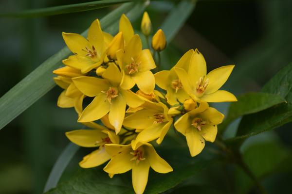 Цветки вербейника обыкновенного