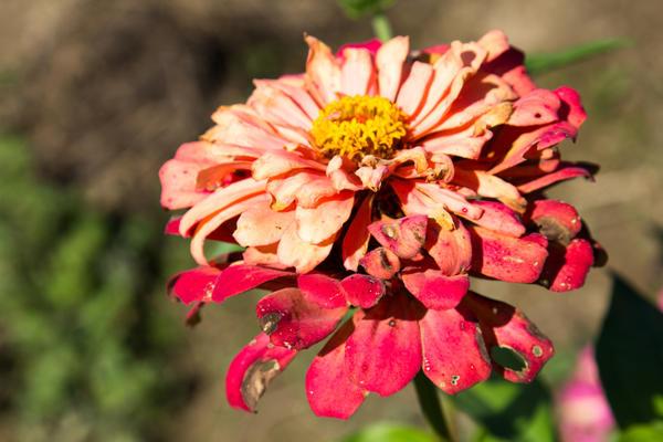 Вянущие цветы могут стать источником болезней