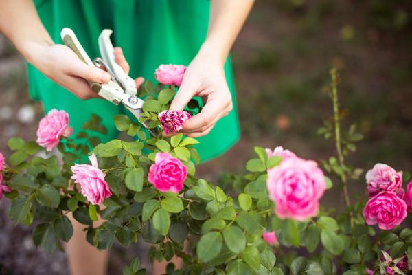 Обрезка увядших цветов - обязательный элемент ухода за садом