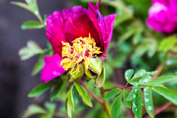 Обрезайте вянущие цветы так часто, как сможете