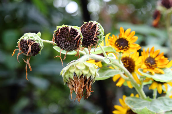 Если нам нужны семена растения, увядшие цветки, конечно, не обрезаем