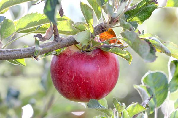 Какого размера должно быть яблоко?