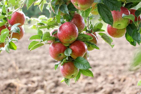Что лучше - одно крупное яблоко или много яблок среднего размера?