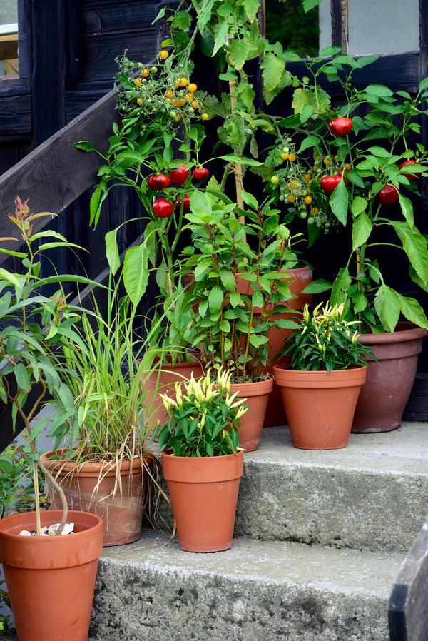 Даже огородные растения можно выращивать в контейнерах