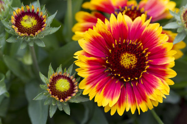 Яркие цветы гайлардии