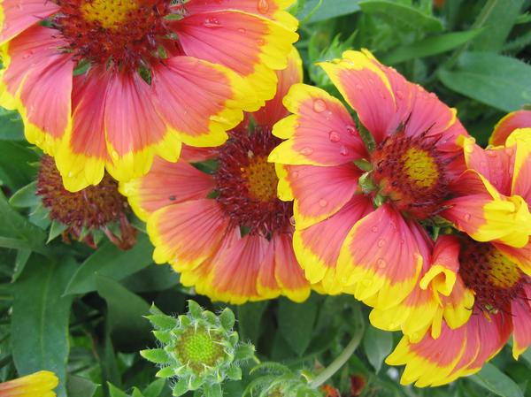 Разнообразие окраски цветов гайлардии