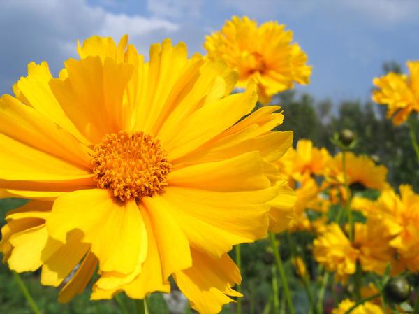 Солнечный цветок кореопсиса