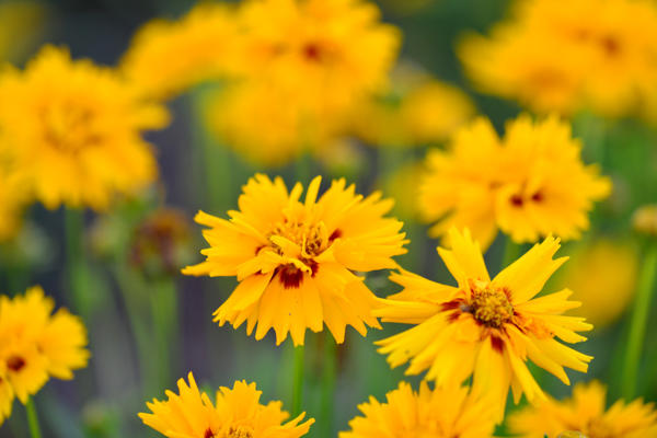 Яркие цветы кореопсиса