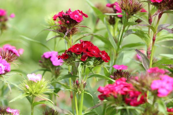 Гвоздика бородатая, или турецкая (Dianthus barbatus)