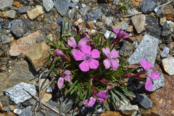 Гвоздика альпийская (Dianthus alpinus)