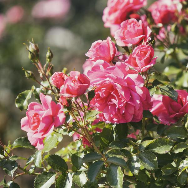Многие розы цветут повторно