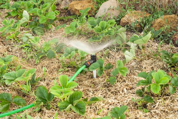 В сухую и тёплую погоду осенью нужен полив