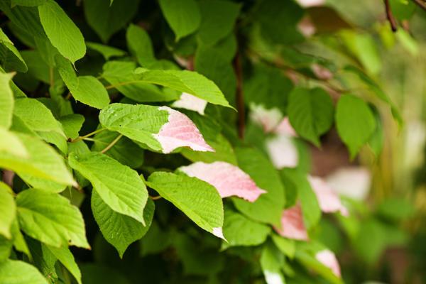 Актинидия коломикта (Actinidia kolomikta)
