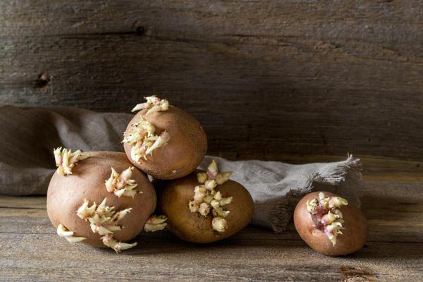 Проросший картофель многие считают вредным